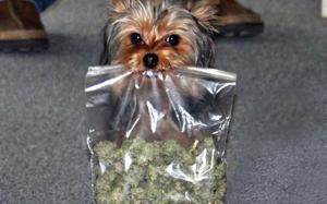 marijuana-dog-nevada